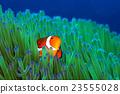 小丑魚 銀蓮花 海葵 23555028