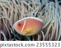 鹹水魚 海水魚 海魚 23555323