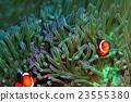 小丑魚 銀蓮花 海葵 23555380