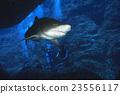 潛水員 戴水肺潛水 鯊魚 23556117