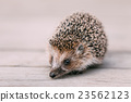Cute Funny Lovely Hedgehog Standing On Wooden 23562123