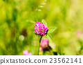 Blooming Wildflowers Alsike Clover Or Trifolium 23562141