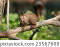 松鼠 北海道松鼠 日本北海道松鼠 23567609