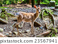 Young sika deer in Nara Park 23567941