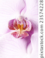 Orchid 23574228