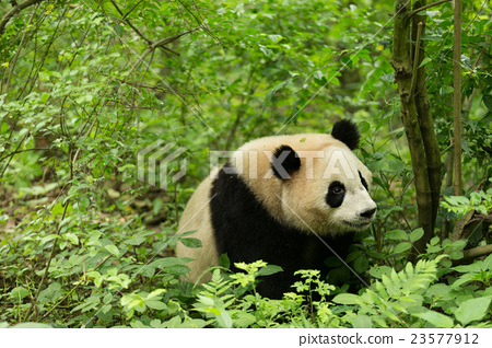 The giant panda in forest 23577912