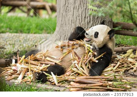 The giant panda enjoy their lunch 23577913