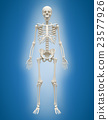 3D Human skeleton male on blue background. 23577926