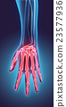 3D illustration of Hand Skeleton, medical concept. 23577936