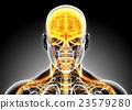3D illustration male nervous system. 23579280
