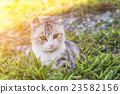 domestic cat in outdoor 23582156