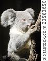 코알라, 포유류, 초식 동물 23583650