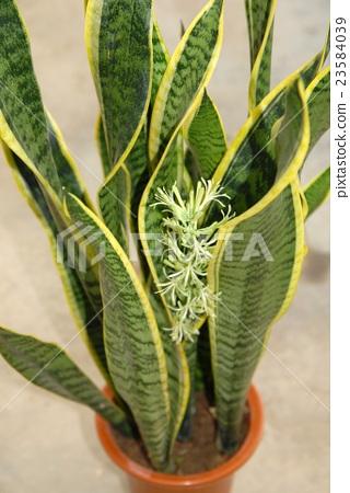 산스 베리아 (토라노오)의 꽃 23584039