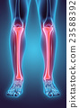 3D illustration of Tibia, medical concept. 23588392