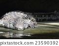 nile, crocodile, alligator 23590392
