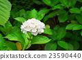 绣球花 花朵 花卉 23590440
