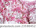 photo, cherry blossom, cherry tree 23590452
