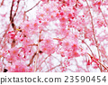 photo, cherry blossom, cherry tree 23590454