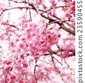 photo, cherry blossom, cherry tree 23590455