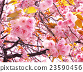 photo, cherry blossom, cherry tree 23590456
