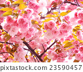 photo, cherry blossom, cherry tree 23590457