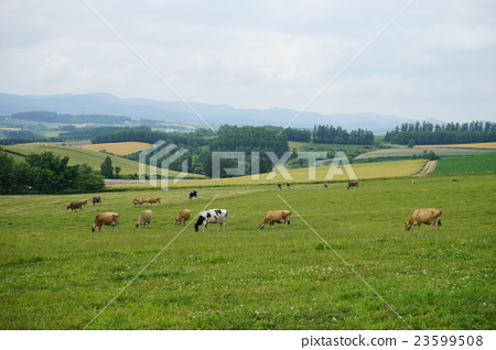The earth and cattle in Hokkaido 23599508