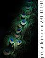 孔雀 翅膀 動物 23601101