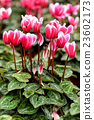 Pink cyclamen flowers with decorative leaves 23602173