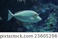Whitemargin Unicornfish in the aquarium. 23605206