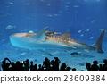 鯨鯊 美麗海 水箱 23609384