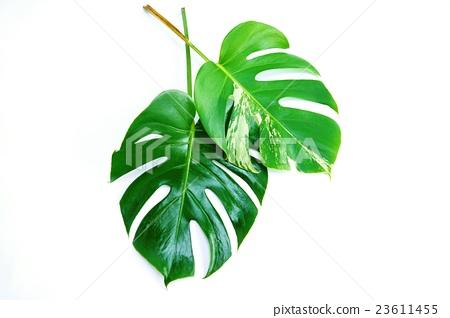 葉背景材料·龜背竹和雜色的龜背竹葉2葉·白背側身位置 23611455