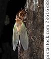 蝗蟲 蟬 昆蟲出現 23616388