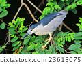 the Black crowned Night Heron 23618075