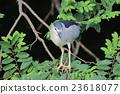 the Black crowned Night Heron 23618077