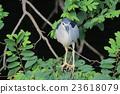 the Black crowned Night Heron 23618079