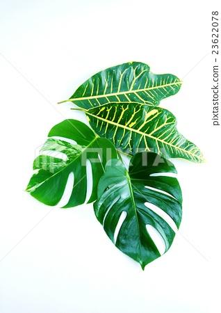 葉背景材料·龜背竹葉和雜色龜背葉一葉和寬葉巴豆葉2葉·白背垂直位置 23622078