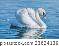Swan on the Lake 23624139