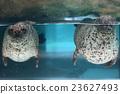 海洋動物 海洋生物 海豹 23627493