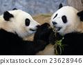 panda, pandas, Giant 23628946