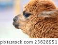 羊駝 嬰兒 寶寶 23628951
