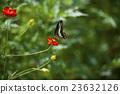 คอสมอส,ผีเสื้อ,แมลง 23632126