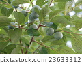 日本柿 柿子 甜柿 23633312