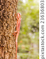 Brown lizard , tree lizard, 23636803