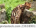 獵豹 媽媽 非洲 23638901
