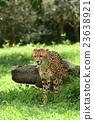 獵豹 媽媽 非洲 23638921