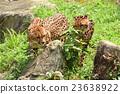獵豹 媽媽 非洲 23638922