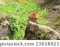 獵豹 媽媽 非洲 23638923
