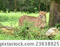 獵豹 媽媽 非洲 23638925