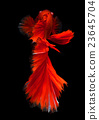 Red haft moon long tail Betta fish 23645704