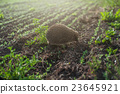 hedgehog at the field 23645921